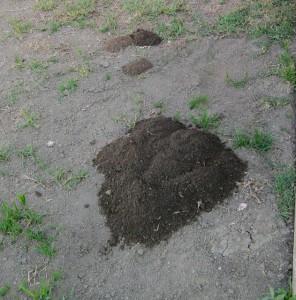 gophers in my yard